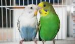 Вольеры для волнистых попугаев