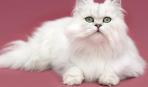 Уход за длинношерстной кошкой