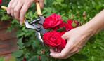 Осенняя обрезка роз и подготовка к укрытию