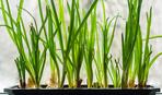 Лук на гидропонике: особенности выращивания