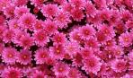 Хризантемы: выращивание, уход, пересадка и размножение