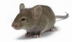 Приручение и дрессировка декоративных мышей