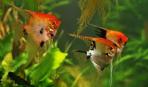 Аквариумные рыбки скалярии содержание и уход. Скалярии размножение и разведение. Скалярии совместимость