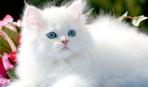 Как ухаживать за шерстью персидских кошек