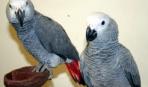 Особенности содержания попугая жако