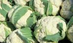 Цветная капуста: как посадить и вырастить хороший урожай