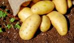 2 способа вырастить картофель из семян