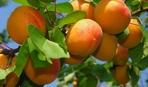 Абрикосовое дерево: как посадить и вырастить урожайное