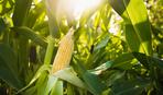 Выращиваем кукурузу: секреты щедрого урожая