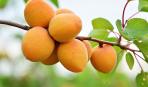 Как из обычного абрикоса сделать потрясающие косметические средства