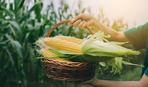 Як вибрати смачну кукурудзу і не переплатити