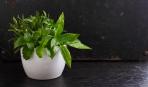 Как используют мяту в кулинарии опытные хозяйки