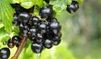 Смородина: уход после сбора ягод