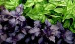 Зеленый и фиолетовый базилик в кулинарии