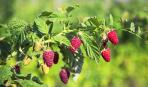 Как вырастить крепкую и урожайную малину