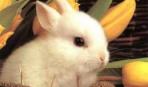 Содержание и уход за домашними кроликами