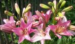 Садовые лилии: выбор подходящего места в саду, особенности посадки и ухода