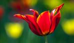 Когда нужно выращивать тюльпаны?