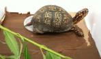 Чем кормить черепах?