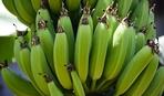 Украинские бананы от отечественного садовода