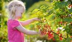 Сода допоможе зробити урожай смородини - неймовірним!