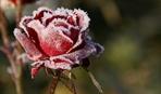 Как укрыть розы на зиму и не наделать ошибок
