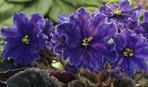 Виставка фіалок та рідкісних екзотичних рослин пройде 8-11 листопада