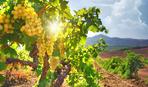 """Виноград вкусный и """"сильный"""" - как посадить и вырастить такой"""