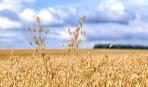 Рекордний урожай вівса: Agricom Group планує зібрати 1000 тонн