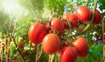Подзимняя посадка томатов - лайфхак ленивого огородника