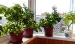 Огород на подоконнике: что можно выращивать дома