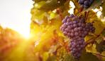 Новости кулинарии: Самая дорогая виноградная гроздь