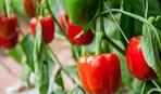 Как правильно вырастить перец: 10 типичных ошибок