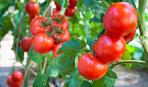 Как увеличить урожай помидоров в 3 раза