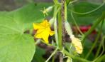 Как увеличить урожай огурцов: 5 советов