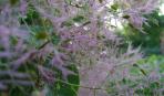 Скумпия: радужное очарование сада