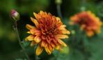 Символ солнца: хризантема садовая