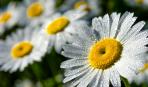 Ромашка садовая: правила выращивания и уход