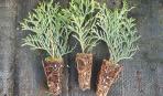 Зимнее черенкование хвойных растений: мастер-класс (фото)