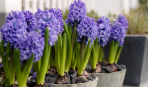 Календарь цветения луковичных и клубневых растений (таблица)