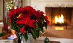Какие домашние растения принято дарить на Новый год