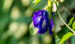 Клитория голубая или Мотыльковый горошек: особенности выращивания