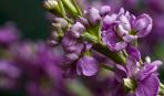 Левкой: особливості посадки та догляду за рослиною