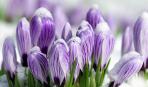 8 найгарніших березневих першоцвітів