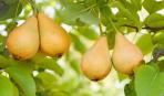 Как увеличить урожай с груши: дельные советы