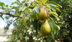 Как выбрать плодовые саженцы: советы экспертов