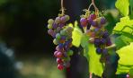 Что поможет увеличить урожай винограда: дельные советы