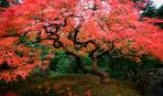 Яркие акценты: 5 деревьев и кустарников с красной листвой