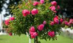Штамбовые розы - для роскошного сада: посадка и уход