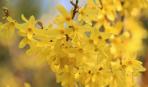 Форзиция - солнце в вашем саду: как посадить и ухаживать
